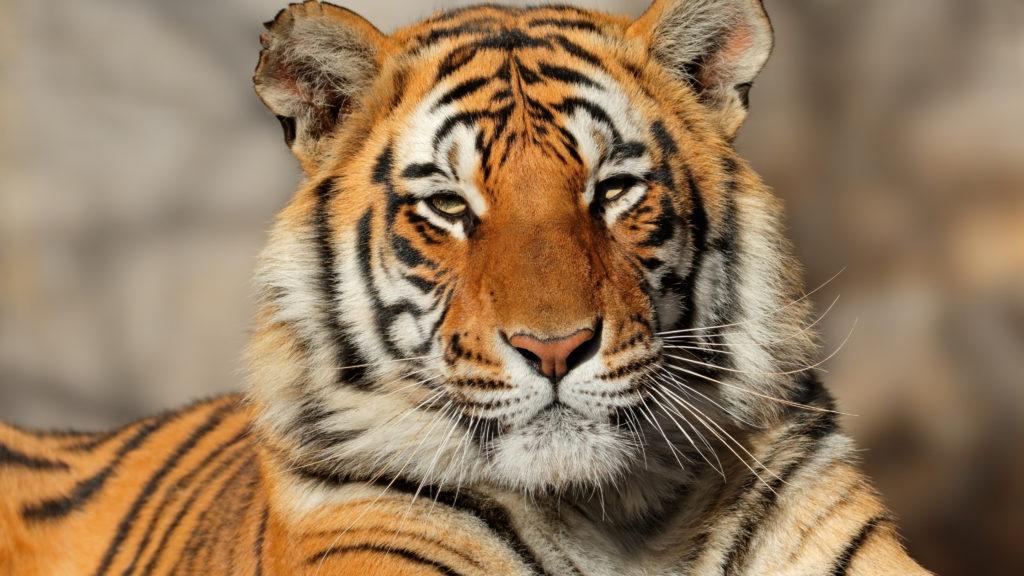 Crafty days in July- Tiger